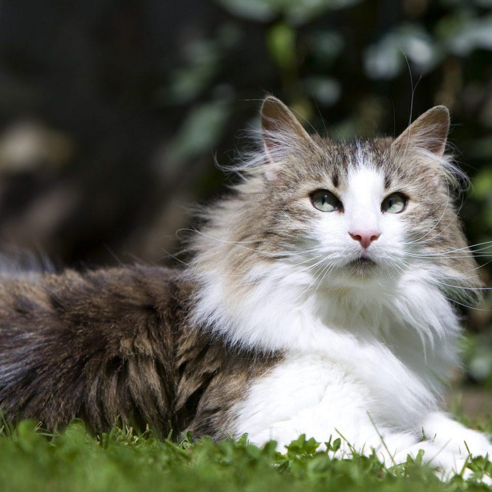 magnifique chat norvégien allongé au milieur de l'herbe